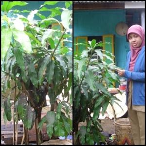 Pohon Mangga Okiyong Agustus 2013, Tingginya sudah mencapai 1.5 m