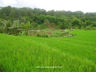 Sawah ini mulai mengalami alih fungsi lahan, sebagian terlantar karena tak terurus