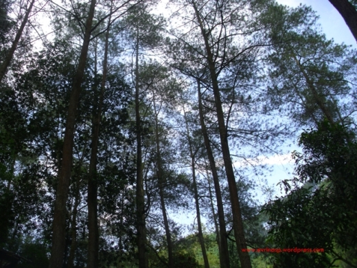 Pohon sebagai tanaman hutan penyumbang oksigen terbanyak saat ini