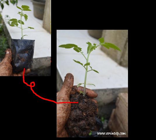 Bibit tomat